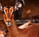 Free Photo - Impala Female