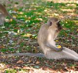 Free Photo - Vervet Monkey