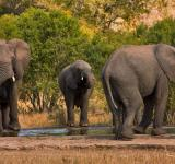 Free Photo - Kruger Park Elephants