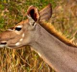 Free Photo - Kudu Female