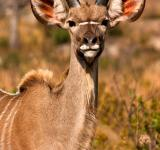Free Photo - Young Kudu