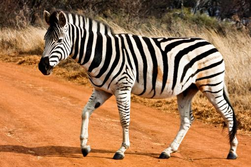 Strutting Zebra - Free Stock Photo