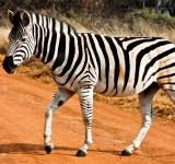 Free Photo - Strutting Zebra
