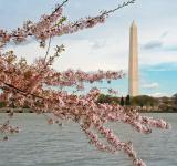 Free Photo - Washington DC Cherry Blossoms