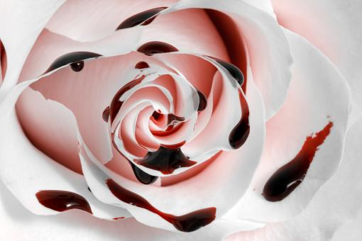 Blood Rose Macro - HDR - Free Stock Photo