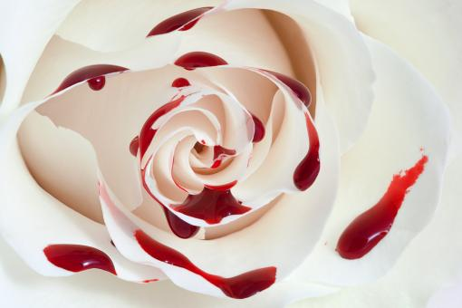 Blood Rose Macro - Free Stock Photo