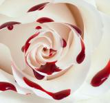 Free Photo - Blood Rose Macro