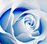 Free Photo - High Key Rose Macro