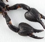 Free Photo - Black Scorpion Claws