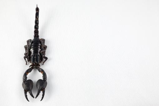 Black Scorpion - Free Stock Photo