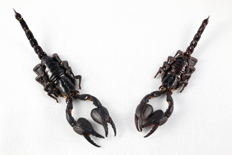 Free Stock Photo of Black Scorpion Pair Created by Nicolas Raymond