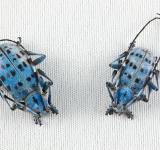Free Photo - Pseudomyagrus Waterhousei Beetles