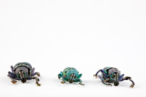 Eupholus Beetle Trio - Free Stock Photo