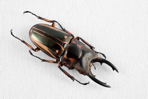Prosopocoilus Zebra Beetle - Free Stock Photo