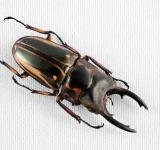 Free Photo - Prosopocoilus Zebra Beetle
