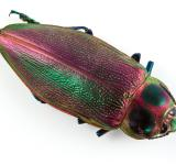 Free Photo - Euchroma Gigantea Beetle