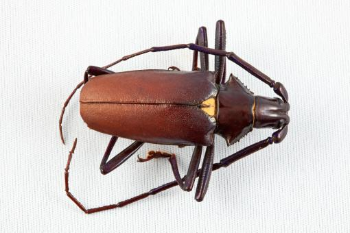 Pyrodes Longiceps Beetle - Free Stock Photo