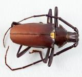 Free Photo - Pyrodes Longiceps Beetle