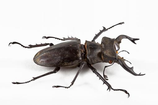 Lucanus Formosanus Beetle - Free Stock Photo