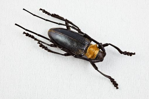 Cerambycidae Beetle - Free Stock Photo