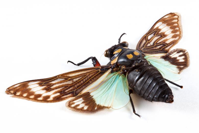 Cicadidae Sp Cicada Free Insect Stock Photos