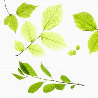 Green leaves - Free Stock Photo