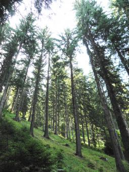 Spruce forest in the central Rhodopes - Free Stock Photo
