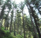 Free Photo - Spruce forest in the central Rhodopes