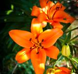 Free Photo - Orange Flower