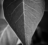 Free Photo - Black and White Leaf