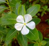 Free Photo - Savam Nari Flower (Catharanthus roseus)