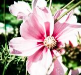 Free Photo - Pink flower