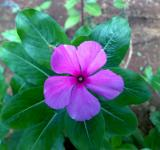 Free Photo - Pink Savam Nari Flower
