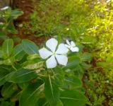 Free Photo - White Savam Nari Flower