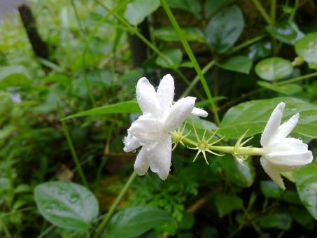 White jasmine flower with water drops - Free Stock Photo
