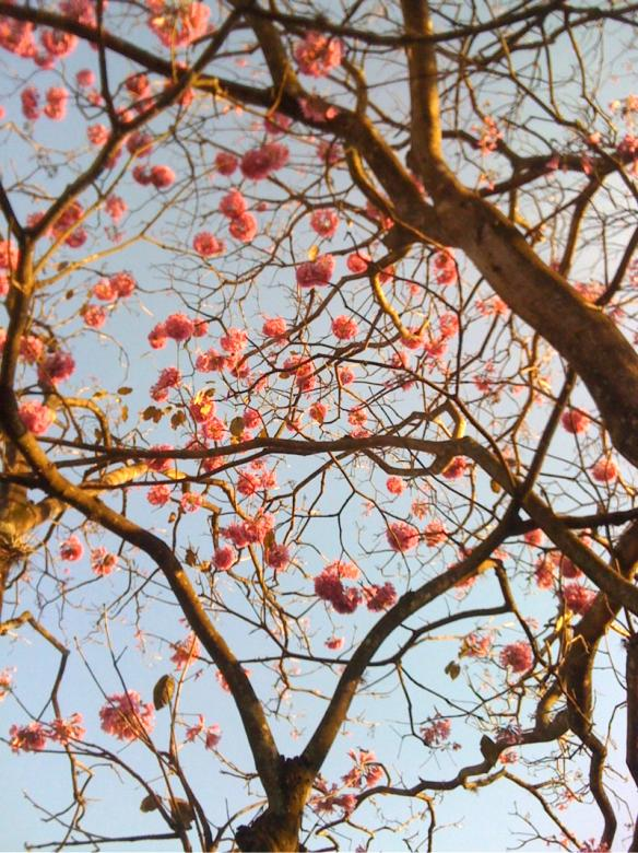 Free Stock Photo of Ipe tree pink Created by Karla Hara