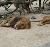 Free Photo - Sleeping Lion
