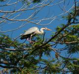 Free Photo - Grey Heron
