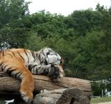 Free Photo - Relaxing Tiger