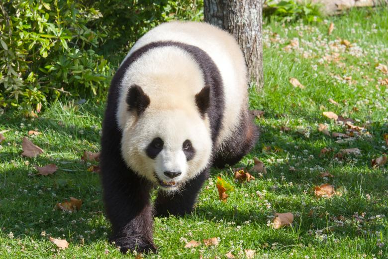 Free Stock Photo of Giant panda Created by Bruno MALLET