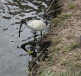 Free Photo - Ibis and birds