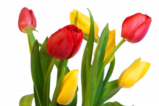 Tulips - Free Stock Photo