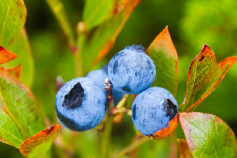 Free Stock Photo of Blueberries Created by Geoffrey Whiteway