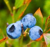 Free Photo - Blueberries