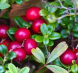 Free Photo -  lingonberry