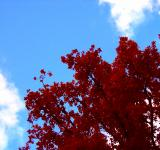 Free Photo - Autumn tree red