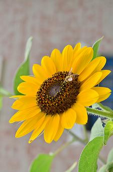 Sun Flower And The Bee! - Free Stock Photo