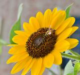 Free Photo - Sun Flower And The Bee!