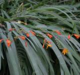 Free Photo - Little Orange Lilies
