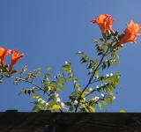 Free Photo - Trumpets on the Vine